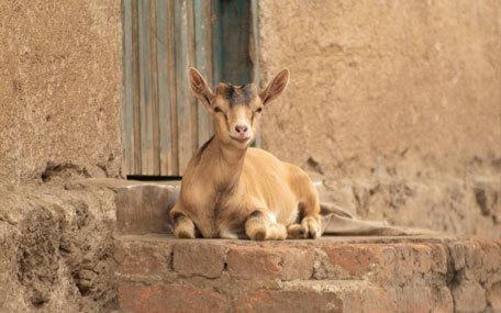 Skänk en get i Kongo Gåvobevis